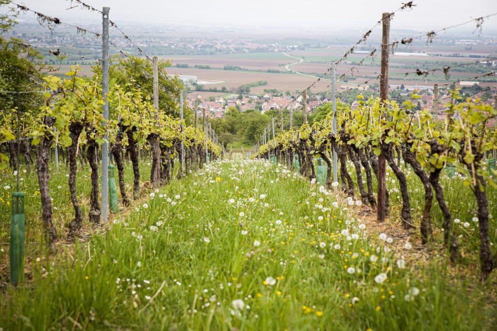Randonnée route vignerons route des vins alsace en voiture